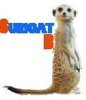 Portrait de Suricat B